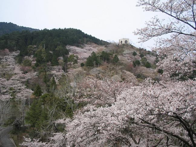 aburasakura09.JPG